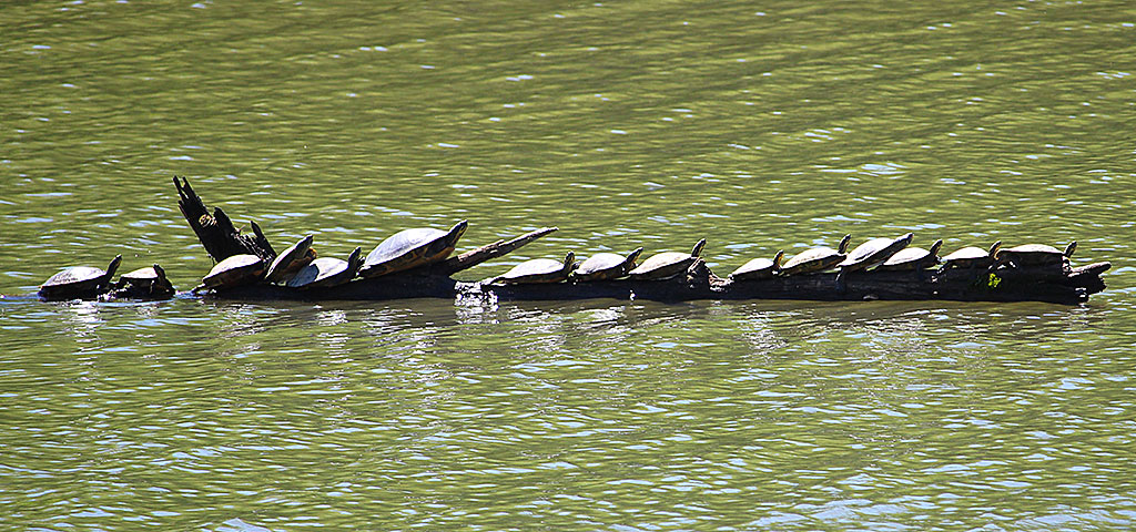 Turtles Sunning on a Log in the Elk River